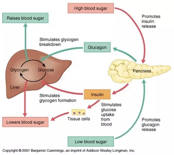 These effects cause blood glucose concentration to rise.