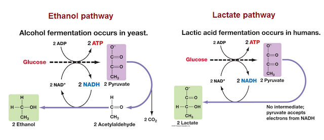 ? Ethanol pathway: conversion of pyruvate to ethanol in ...