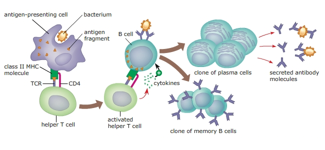 lymphocyte b cell in the immune system biology essay The rearrangement of the cell´s inner scaffold, the cytoskeleton, is a vital process for immune cells in a new collaborative study, a rare inherited disease revealed a hitherto unknown role of a.