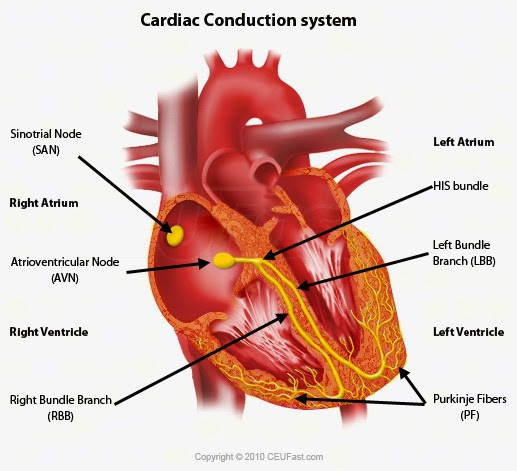 46 the heart syllabus 2015 t describe the external and internal structure of the mammalian heart ccuart Choice Image