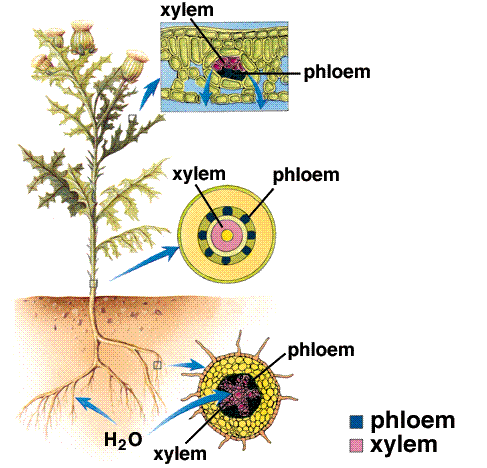 Plants have 2 transport systems: