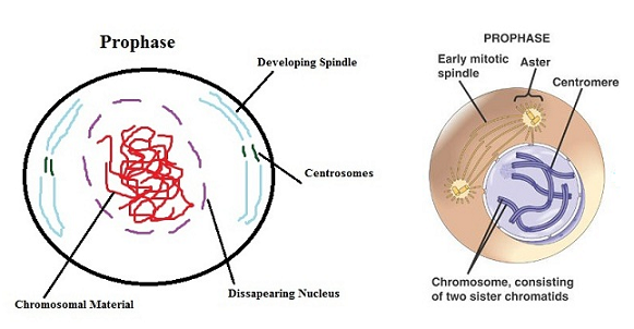 Labeled Diagram Of Prophase Chromasomes Wiring Diagram